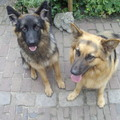 honden foto Links is Ziva en rechts is Rosie