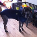 honden foto Medical Petshirt