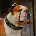 honden foto Stoere Maurice