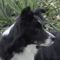 honden foto Jewel Fields Dreamweaver ´Demy´