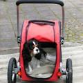 honden foto Daantje zwaar aangedaan door Chiari-achtige Malformatie en Syringomyelie