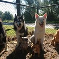 honden foto Chanouk, Blue, Ghost, Lakota en de twee mini's Grey en Gypsy.